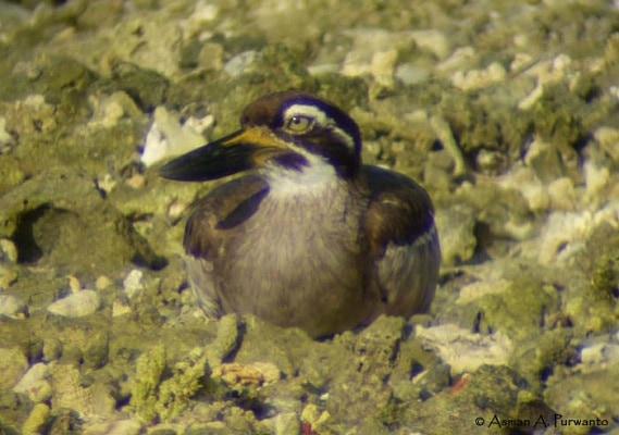 Kebiasaan Burung Wili-Wili Besar atau Beach Stone Curlew 5