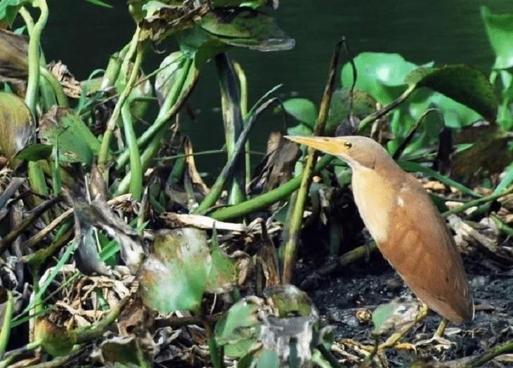 Makanan Burung Bambangan, Burung Pemalu Suka Menyendiri