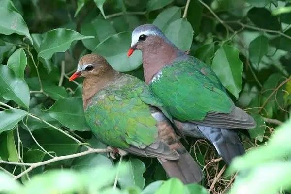 Perbedaan Burung Delimukan Jantan Dan Betina, Anda Wajib Tahu 2
