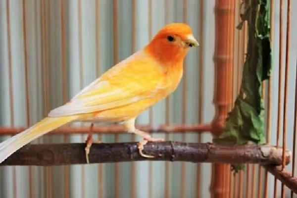 Mengenal Jenis Penyakit Burung Kenari dan Cara Mengatasinya