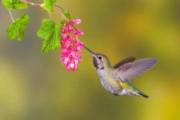 Mengenal Karakteristik Kolibri Anna Idola Baru Burung Kicauan 9