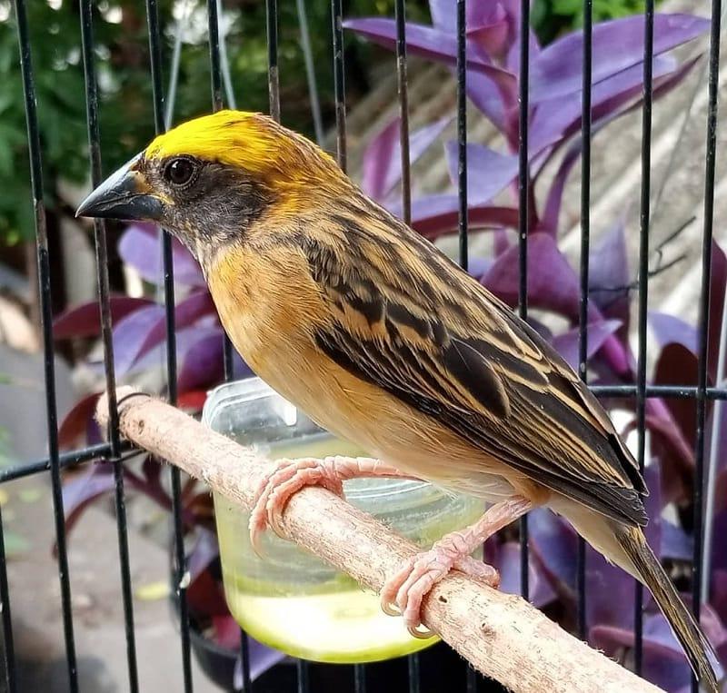 Mengenal Karkteristik Burung Manyar Emas Jantan dan Betina