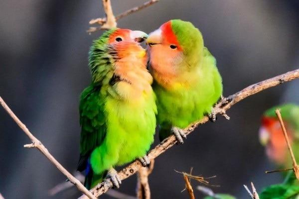 Setia Sampai Mati, Ini Beberapa Fakta Unik Lovebird yang Bikin Terharu 7