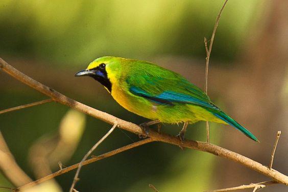 10 Jenis Burung Paling Cocok Untuk Bisnis dan Lomba 2020 2