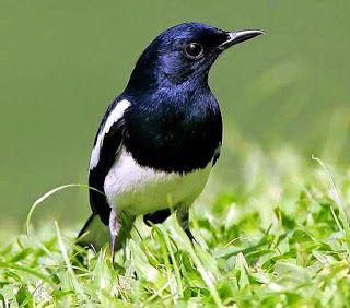 10 Jenis Burung Paling Cocok Untuk Bisnis dan Lomba 2020 6