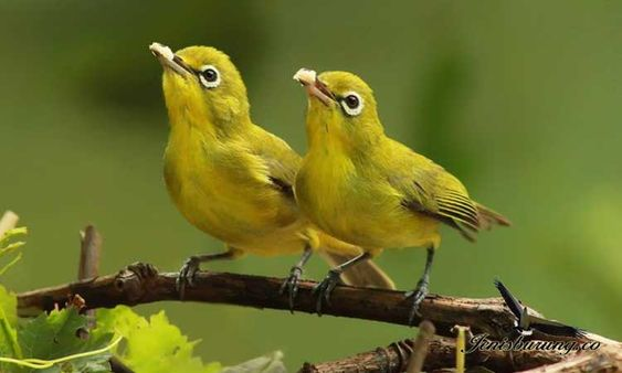 10 Jenis Burung Paling Cocok Untuk Bisnis dan Lomba 2020 5