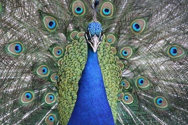 Burung Merak Hijau, Burung Cantik yang Hampir Punah 5
