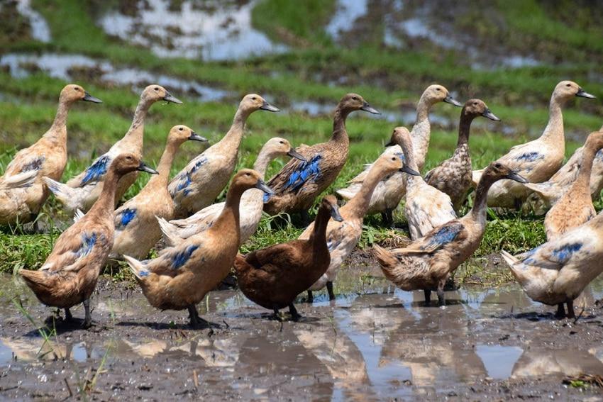 Cara Budidaya Bebek yang Baik dengan Hasil Menguntungkan