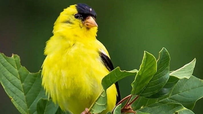 Cara Budidaya Burung Kenari yang Cepat dan Mudah 1