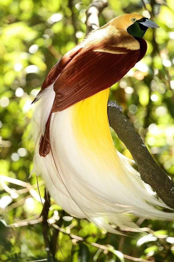 Cara Melestarikan Burung Cendrawasih Yang Patut Untuk Kita Lakukan 1