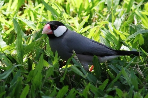 Cara Merawat Burung Gelatik Silver yang Baik dan Benar 9
