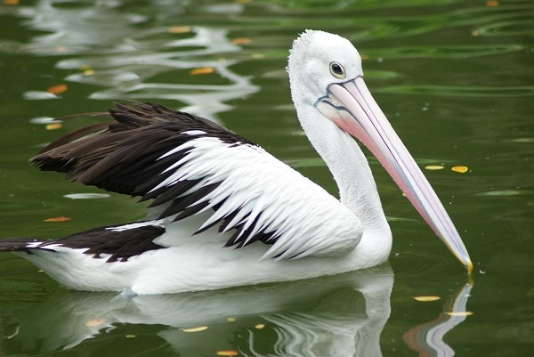 Habitat Burung Pelikan Beserta Persebaran dan Perilakunya 1