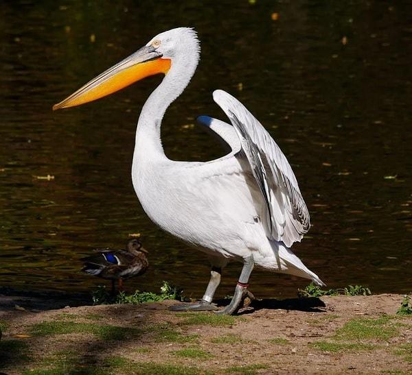 habitat burung Pelikan