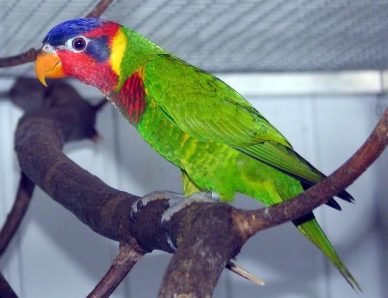 Jenis Burung Perkici