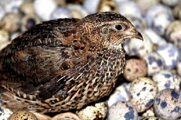 Jenis Burung Puyuh