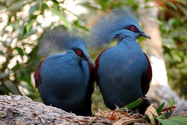 Jenis Burung Puyuh yang Menarik untuk Diketahui 3