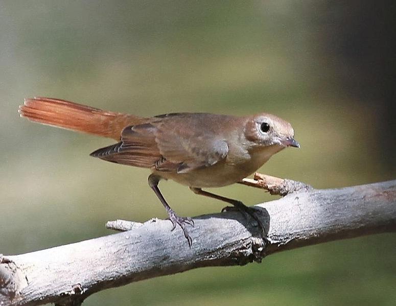 Karakteristik Burung Kancilan Bakau, Master Burung Ocehan Terpopuler