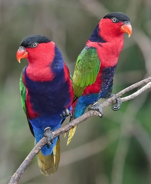 Karakteristik Burung Nuri Kepala Hitam Yang Menarik Untuk Diketahui