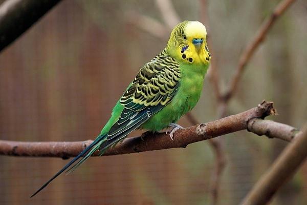 Karakteristik Burung Parkit Holland
