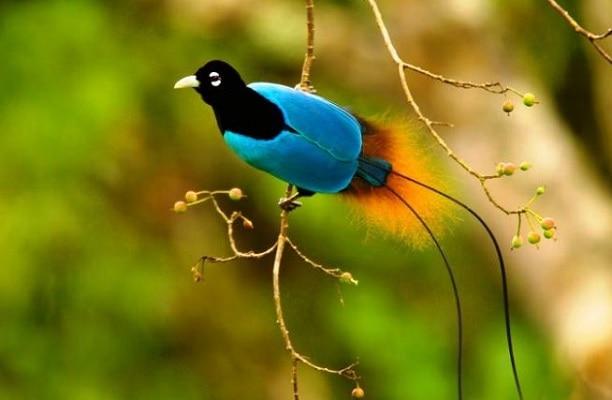 Karakteristik Cendrawasih Biru, Balutan Bulu Indahnya yang Khas