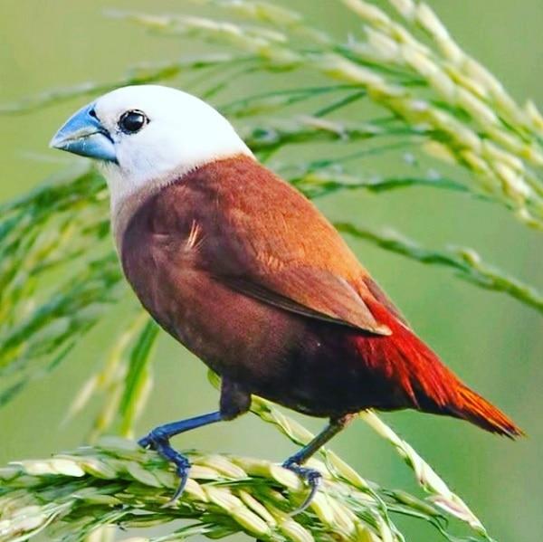 Mengenal Karakteristik Burung Bondol Oto Hitam 5