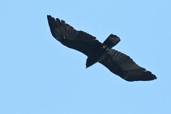Burung dengan Kemampuan Terbang Tinggi
