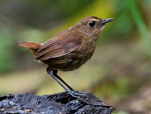 Cara Membedakan Burung Jongkangan Jantan dengan Betina 4