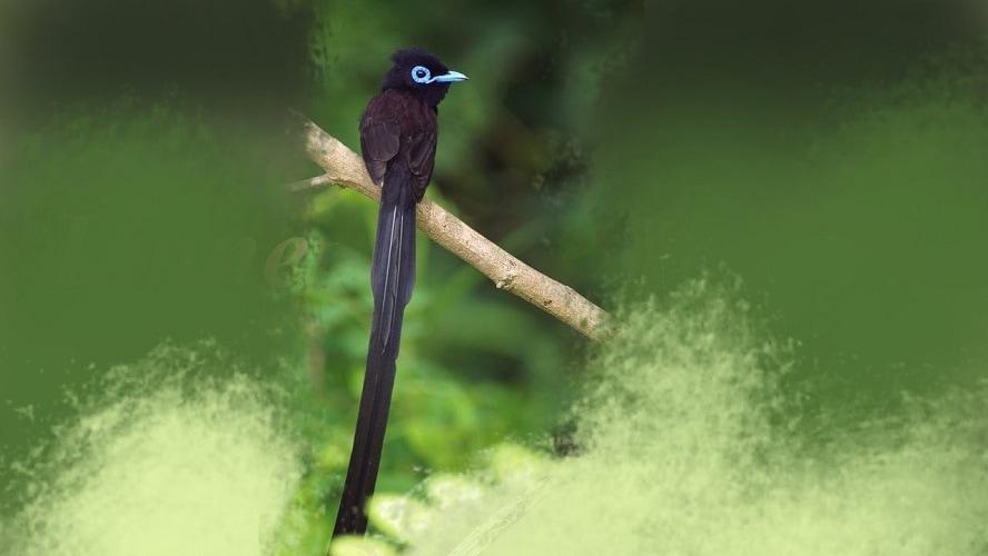 Ciri Ciri Burung Seriwang Jantan Dan Persebarannya
