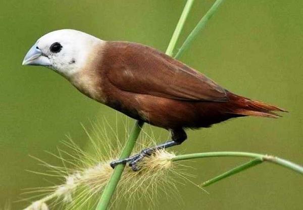 Karakteristik Burung Bondol Haji