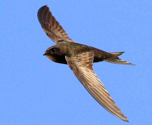 karakteristik burung Kapinis