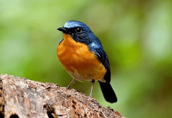 Perbedaan Burung Sulingan Gunung dan Sulingan Bakau