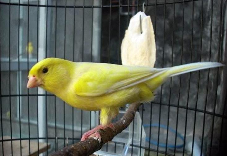 Mengenal Burung Kenari Taiwan Lengkap dengan Ciri-Cirinya