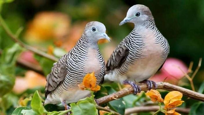 penyakit burung perkutut dan cara mengatasinya