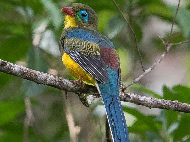 Burung Luntur Sumatera